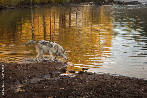 Grey Wolf (Canis lupus) Looks Into River Poster