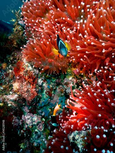 Poster Anemonefish and sea anemones in izu-oshima island ,tokyo