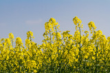 Canola/Rapeseed Flowers