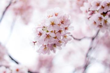 Sakura - Ohanami #1