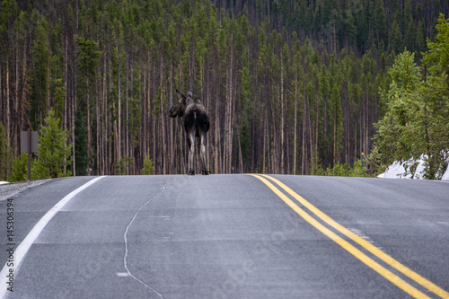 Moose on Trail Ridge Road