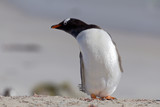 Stretching Gentoo penguin at Falkland Islands.