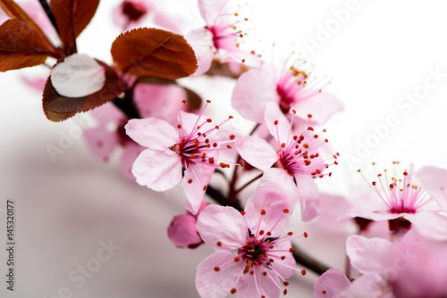 branch cherry blossoms on a white background - 145320177