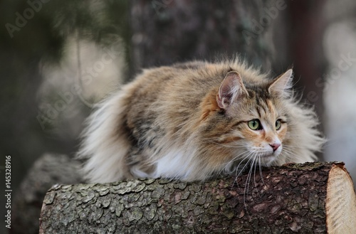 Poster Norwegian forest cat breed