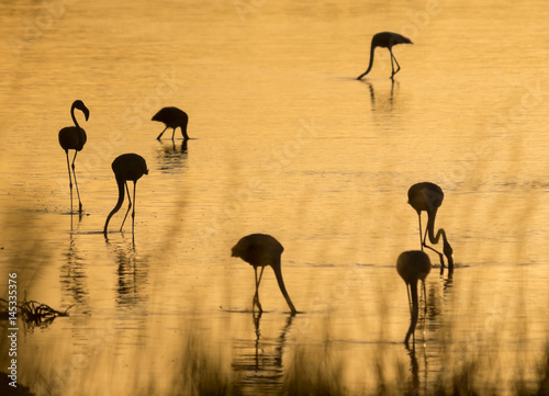 Flamingos at dawn backlit