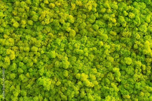 Fototapeta Moss background made of reindeer lichen Cladonia rangiferina, mossy texture spring green.