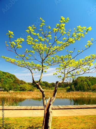 桜の若木と池と森風景 Poster