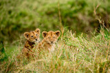 Pair of wild lion cubs sitting in the long grass