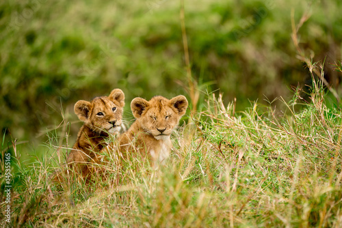 Pair of wild lion cubs sitting in the long grass Poster