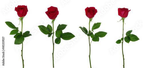 Foto Murales Red rose