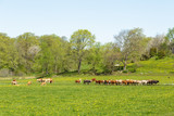 Meadow in the spring with grazing cattle