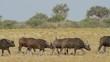Herd of African or Cape buffaloes walking on the African plains, South Africa