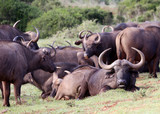 Herd of Wild Cape Buffalo in South Africa