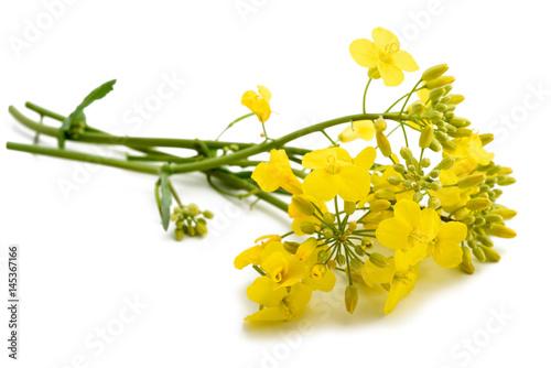 Fototapeta colza (Brassica napus )