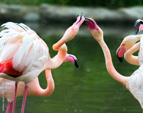 Beautiful Greater flamingos