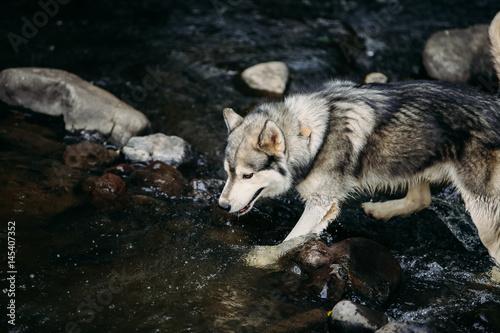 Husky dog running outdoors Poster