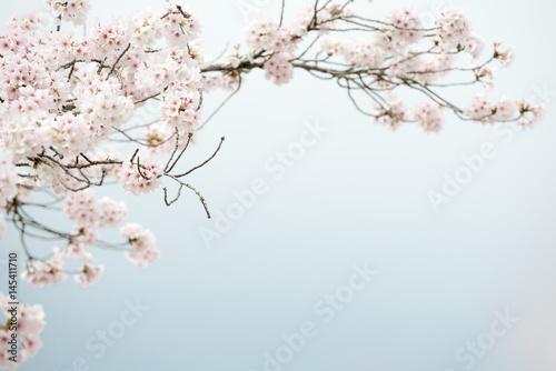 Poster Sakura Blossoms, Japan