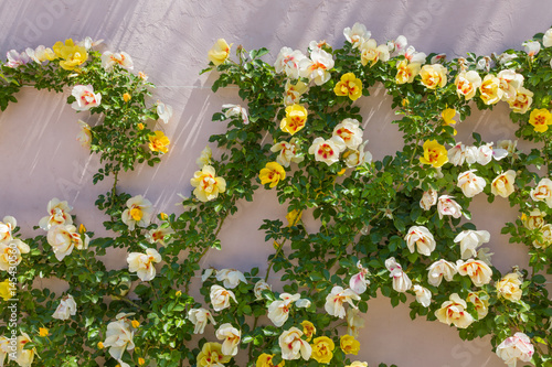 Beautiful roses on the garden wall Poster