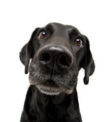 Curious Labrador