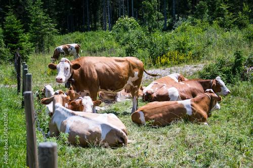 Fotobehang Zwart Cow