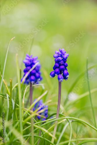 Blaue Muscari Blumen auch bekannt als Traubenhyazinthe. Grüner grasartiger Hintergrund.