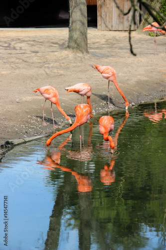 flamingos in water reflection