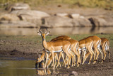 Common Impala in Kruger National park, South Africa - 145486547