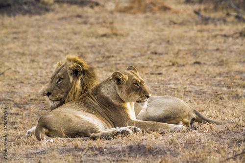African lion in Kruger National park, South Africa Poster