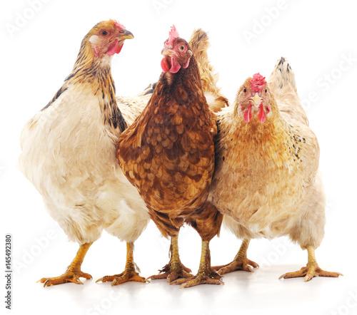 Three brown chicken. - 145492380