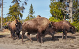 Herd of American bison (Bison bison) in Yellowstone National Park, Wyoming, USA.