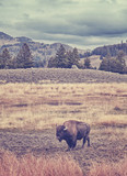 Vintage toned picture of American bison grazing in Yellowstone National Park, Wyoming, USA.