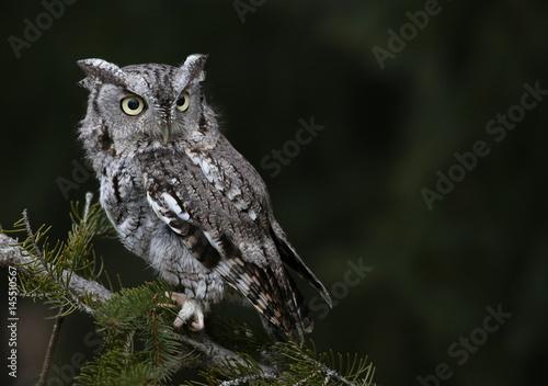 A Gray Morph of an Eastern Screech Owl (Megascops asio) sitting on spruce tree branch..