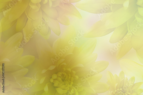 Naklejka .Flowers background. Flowers yellow Chrysanthemums on blurred background. floral collage. flowers composition. Nature.