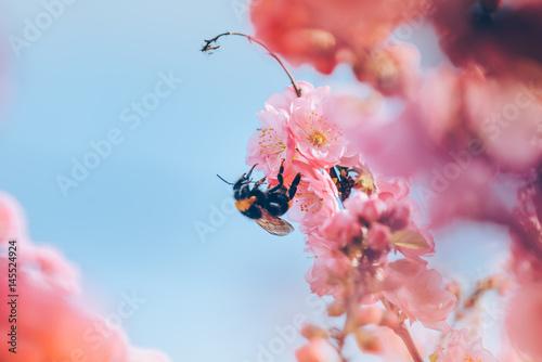 Poster Sakura blossoms against blue sky