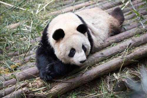 Aluminium Panda lovely giant panda in zoo