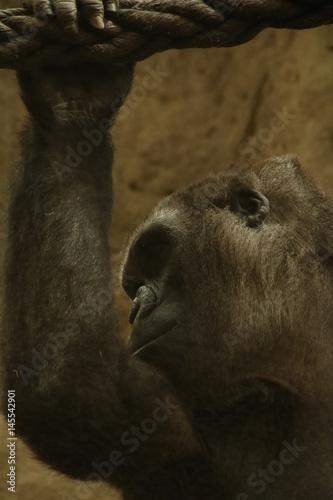 Poster Grey gorilla