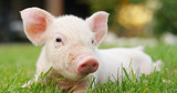pig cute newborn standing on a grass lawn. concept of biological , animal health , friendship , love of nature . vegan and vegetarian style . respect for nature . - 145563531