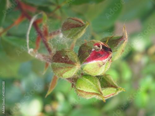 macro rosa