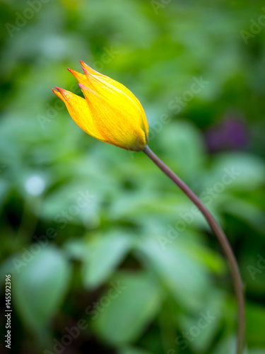 small spring flower - yellow tulip