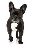 Hund Französische Bulldogge schwarz läuft frontal und guckt aufmerksam