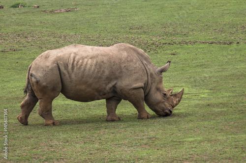 Poster Rinoceronte