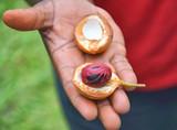 Fresh nutmeg fruit - 145617313