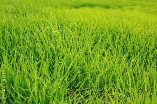 grüne Gras Textur