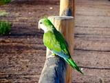 Fuerteventura - Papagei