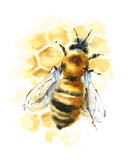 Watercolor Honey Bee on Honeycomb Hand Painted Illustration isolated on white background - 145637346