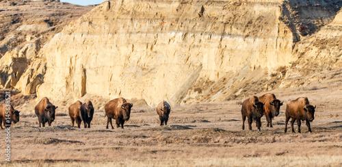 Fotobehang Bison Bison Herd