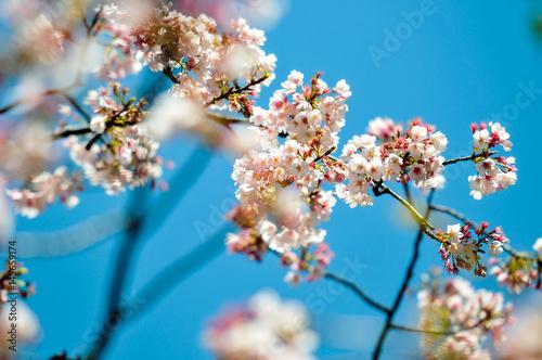 Sakura flowers blossom on blue sky and japanese temple background