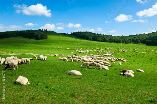 Keuken foto achterwand Nieuw Zeeland The flock of sheep or goats
