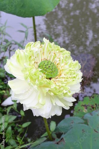 blossom white lotus flower Poster
