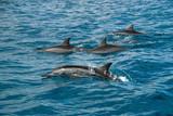 Spinner dolphins, Solomon Islands